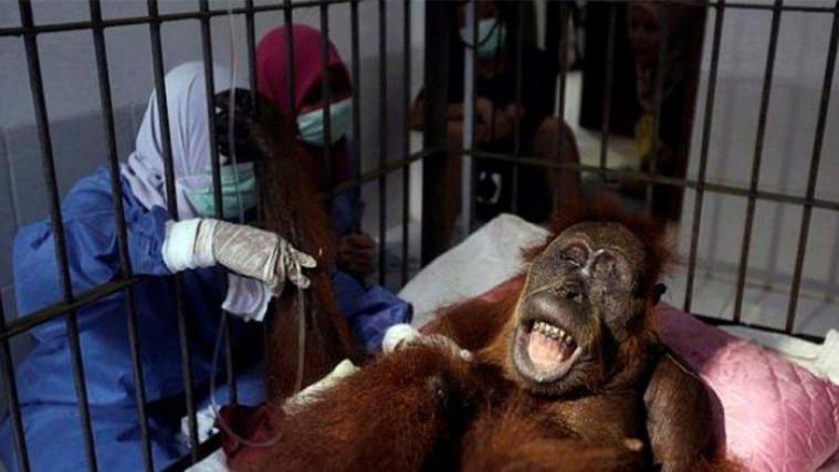 Hope, Orangutan yang Diberondong 74 Peluru Kini Kondisinya Masih Mengkhawatirkan | Keepo.me