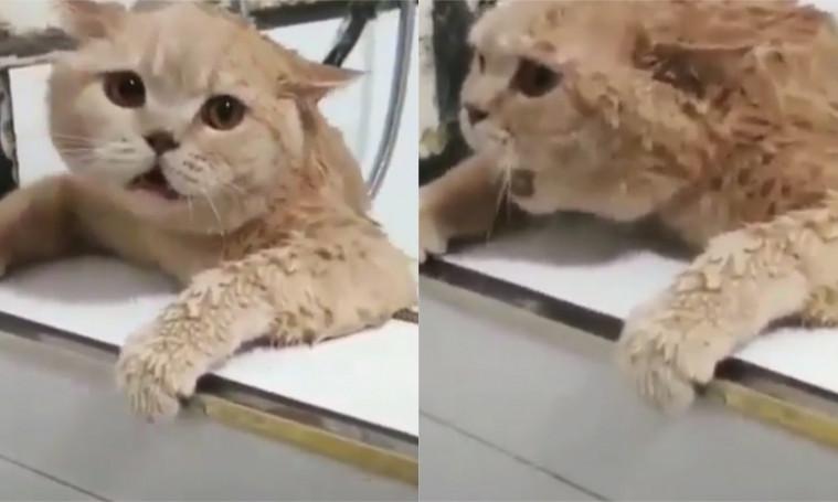 Kucing Teriak Takooot Saat Akan Dimandikan