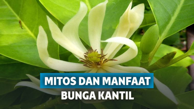 12 Manfaat Bunga Kantil Dan Mitos Kembang Kantil