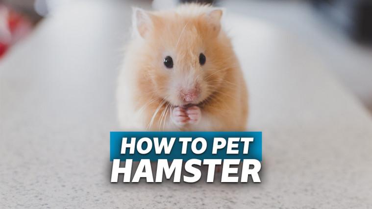 Cara Merawat Hamster yang Baik, Agar Si Bulu Gemas Bisa Hidup Lama | Keepo.me