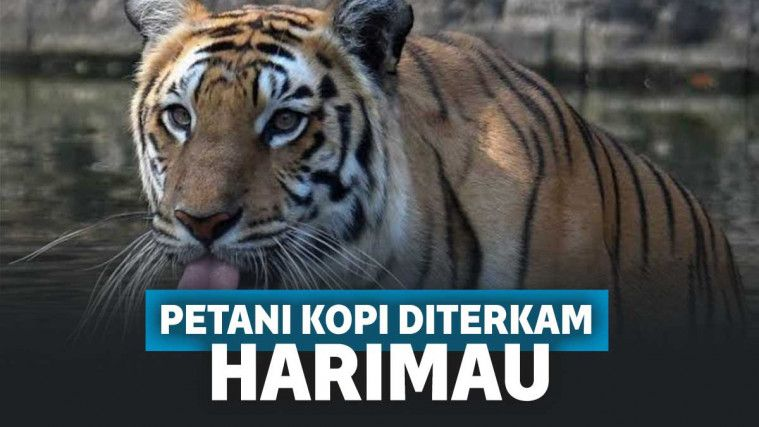 Ngeri! Pria di Sumsel Tewas Tak Berdaya Diterkam Harimau, Istri Hanya Pasrah Menyaksikan | Keepo.me