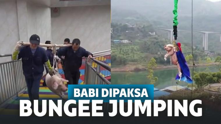 Keterlaluan! Demi Menarik Pengunjung, Babi Ini Dipaksa Lakukan Bungee Jumping | Keepo.me