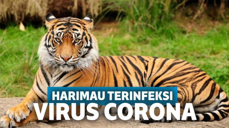 Miris! Tertular dari Pawang, Harimau di Kebun Binatang AS Dinyatakan Positif Corona | Keepo.me