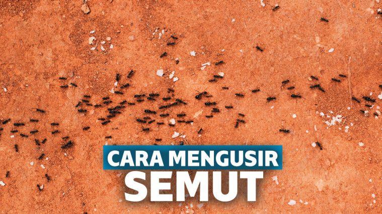 10 cara mengusir semut agar tidak