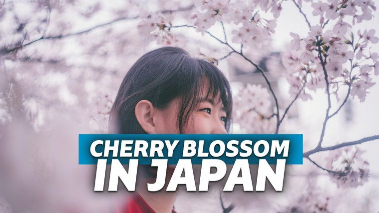 Guguran Sakura di Taman Hirosaki di Musim Semi yang Memukau