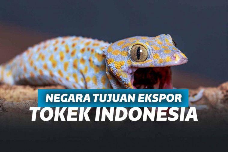 4 Negara ini Menjadi Tujuan Ekspor Tokek Indonesia