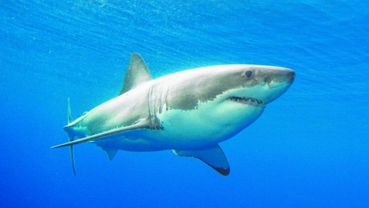 Ikan hiu menjadi makhluk tertua di bumi