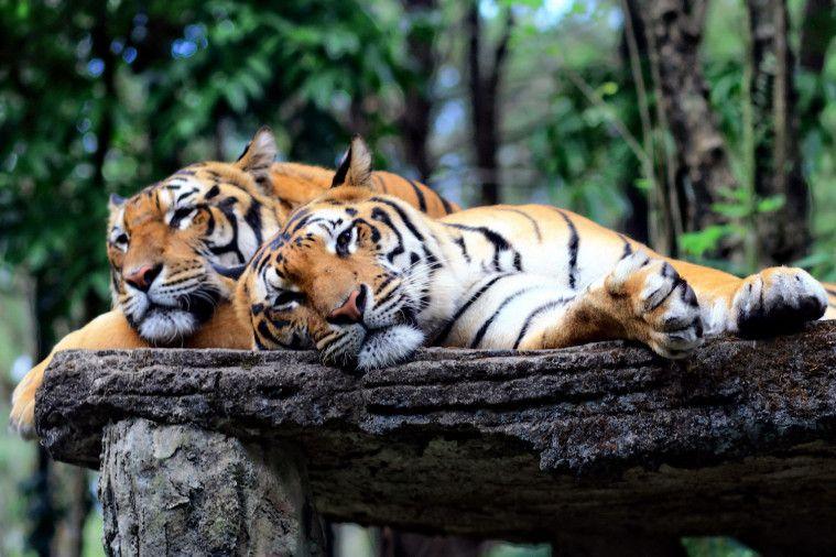 Lebih banyak harimau yang ada di penangkaran daripada di alam bebas