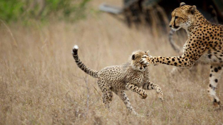 Cheetah gak bisa mengaum