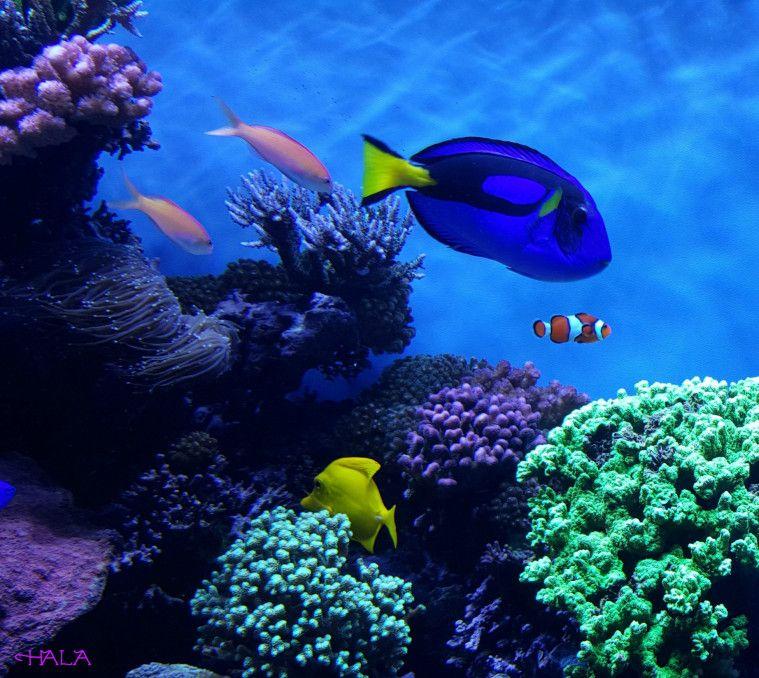 Fakta dan Manfaat ikan Dori yang Beda dengan Filmnya