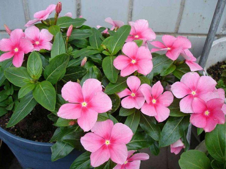 tanaman bunga gantung cantik
