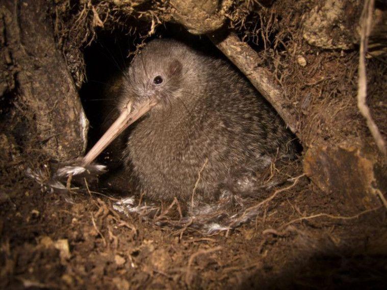 Jadi Burung Paling Setia Ini Fakta Unik Tentang Burung Kiwi