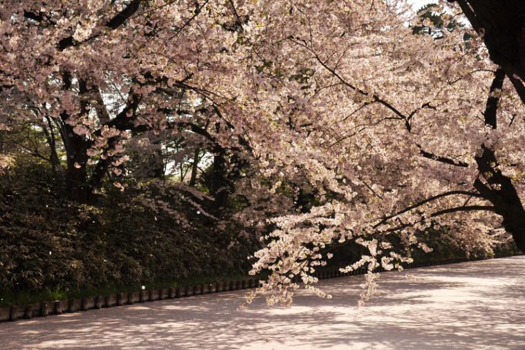Hirosaki Park cherry blossom spring